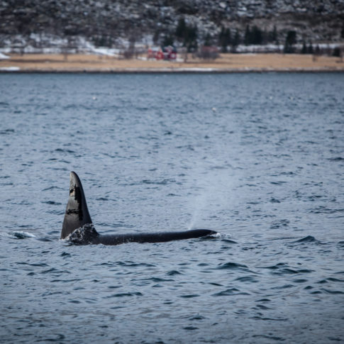 fin, mountain, nature, ocean, orca, sea, senja, swim, whale, Norway